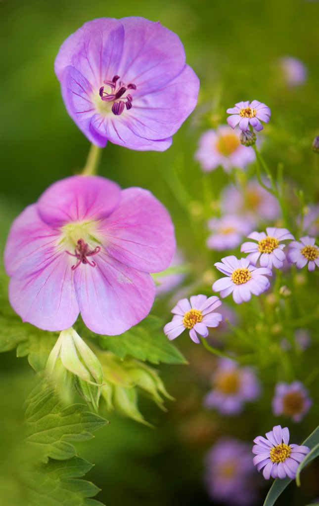 Stock Photo: 1850-48356 Geranium cultivar, Geranium, Cranesbill, Mauve subject.