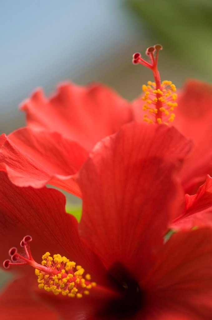 Hibiscus rosa-sinensis, Hibiscus, Red subject. : Stock Photo