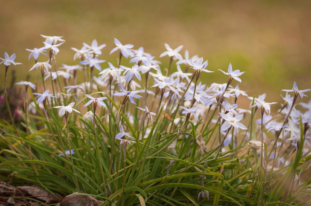 Ipheion uniflorum, Ipheion, White subject. : Stock Photo