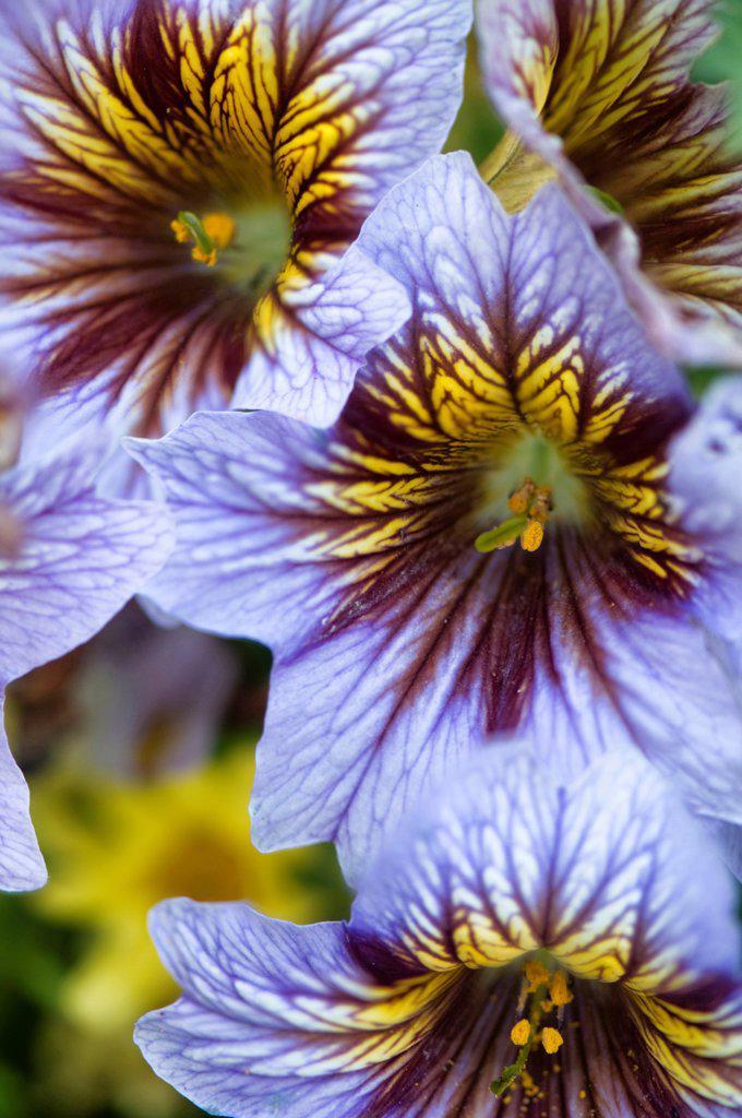Salpiglossis sinuata, Velvet trumpet flower, Blue subject. : Stock Photo