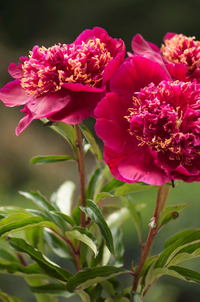 Paeonia lactiflora cultivar, Peony, Pink subject. : Stock Photo