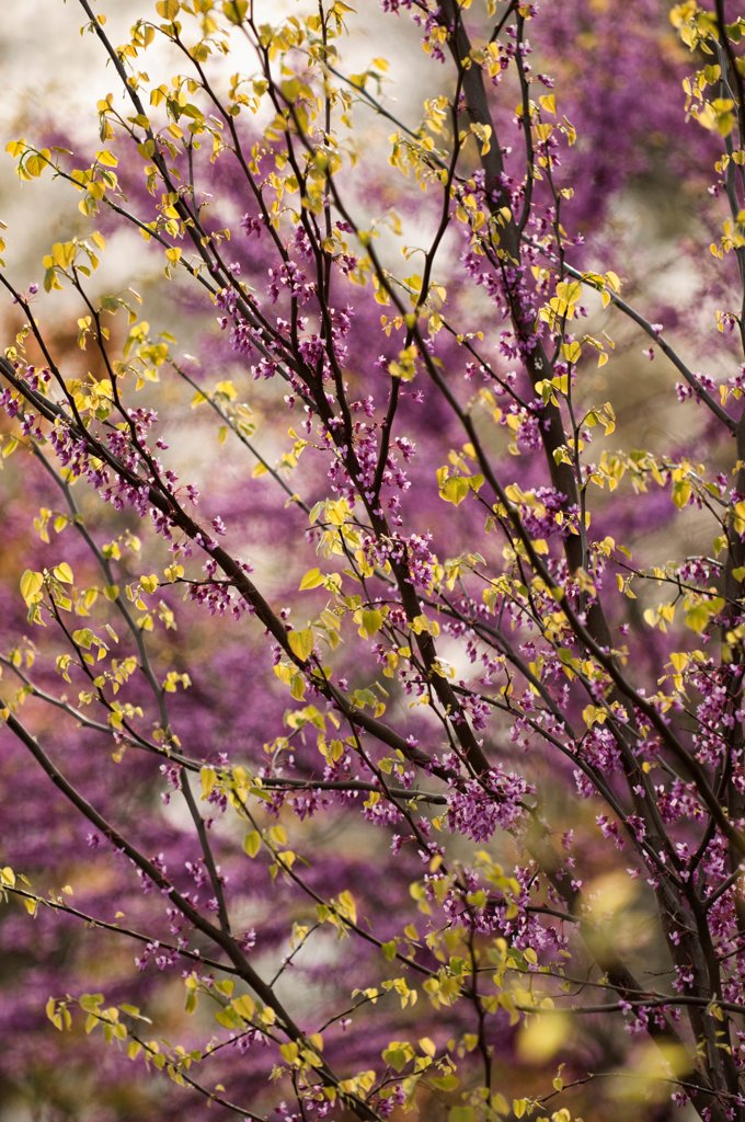 Cercis canadensis, Forest pansy, Purple subject. : Stock Photo