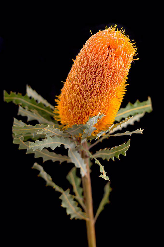 Banksia ashbyi, Banksia, Ashby's banksia, Orange subject, Black background. : Stock Photo