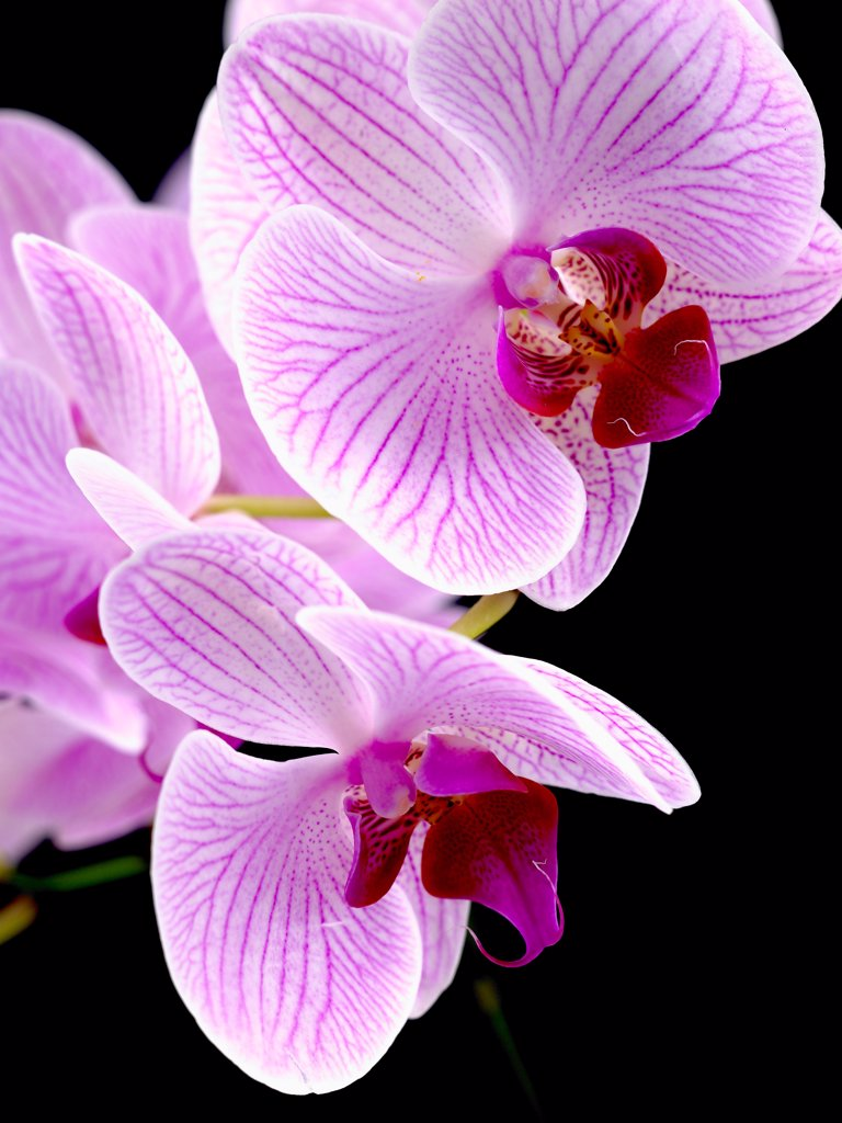 Stock Photo: 1850-48446 Phalaenopsis 'Shanghai', Orchid, Moth orchid, Pink subject, Black background.