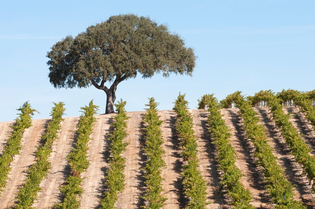Stock Photo: 1850-48632 Vitis vinifera, Grapevine, Green subject.