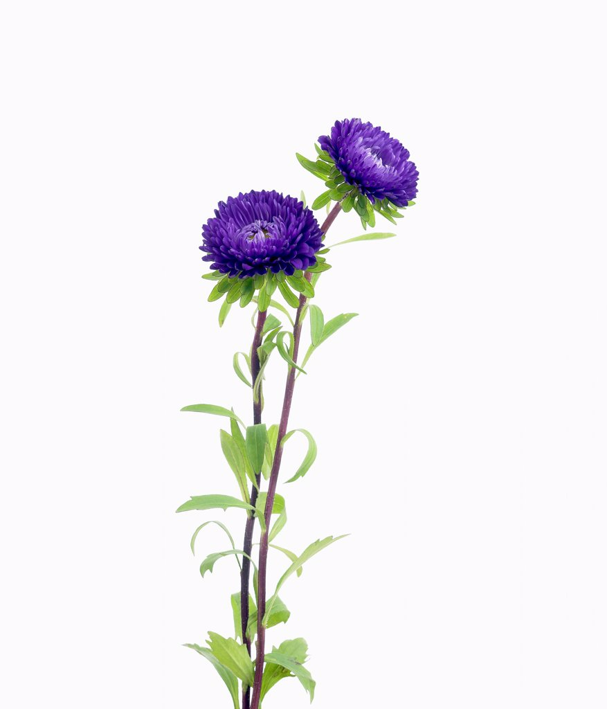 Stock Photo: 1850-48723 Callistephus chinensis 'Matsumoto', Aster, China aster, Blue subject, White background.