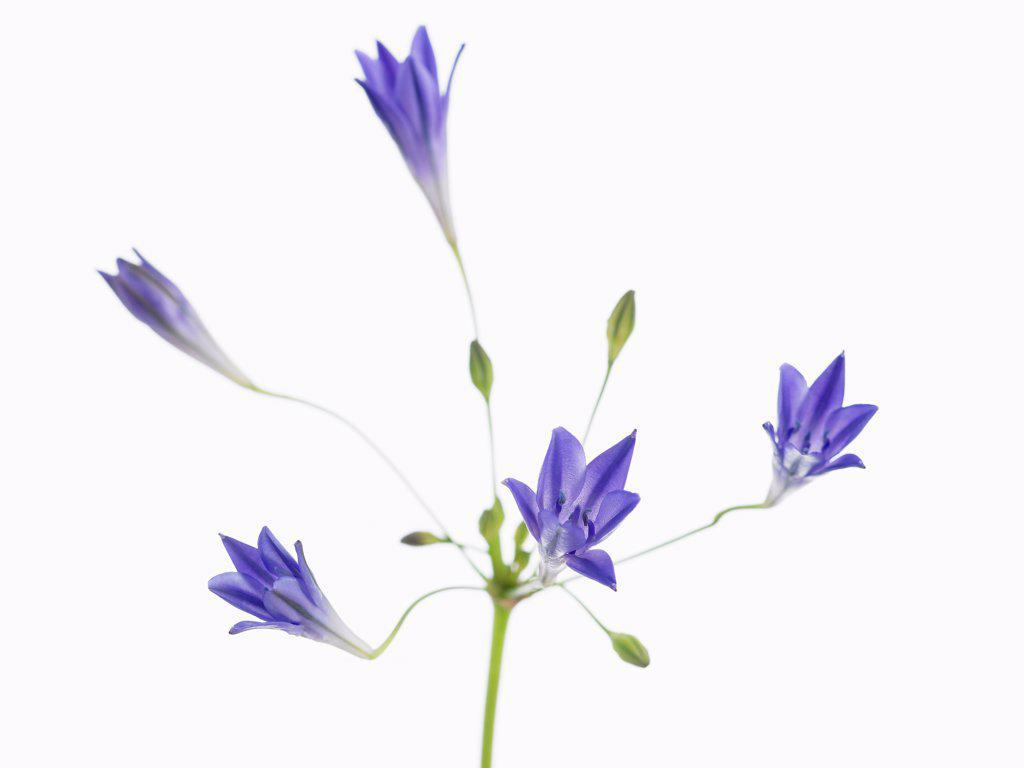 Stock Photo: 1850-48795 Triteleia laxa 'Corrina', Triteleia, Blue subject, White background.