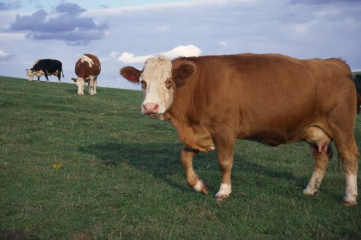 Agriculture, Farming, Cattle, Cows In Sussex Field : Stock Photo