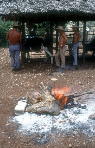 Cuba, Holguin, Los Angeles, Men Branding Cattle Held In A Cage On A Ranch With The Branding Irons In A Fire In The Foreground : Stock Photo