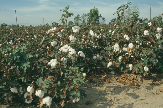 Greece, North , Agriculture, Field Of Cotton Plants With Dry Cracked Earth In The Foreground : Stock Photo