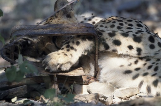 Animals, Big Cats, Cheetah, Cheetah ( Acinonyx Jubatus ) With Its Paw Caught In A Gintrap. : Stock Photo
