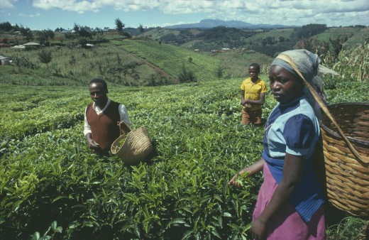 Kenya, Farming, Tea Pickers : Stock Photo