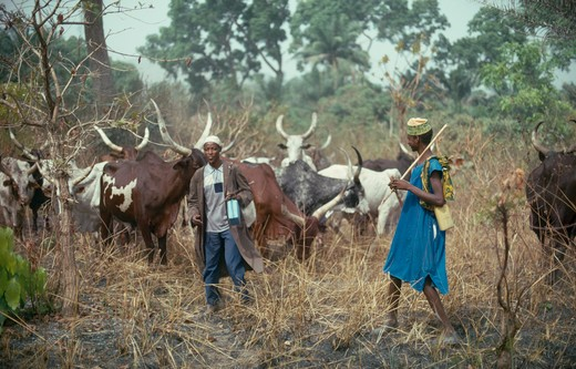 Nigeria, Farming, Fulani Herdsmen With Longhorn Cattle : Stock Photo