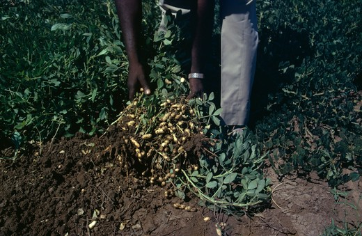 Nigeria, Agriculture, Groundnuts Peanuts Being Inspected By Hand : Stock Photo