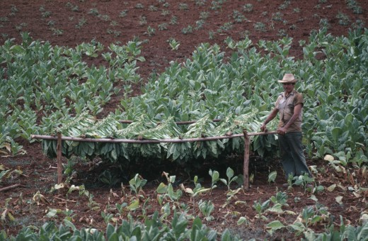 Stock Photo: 1850-7504 Cuba, Pinar Del Rio, Farm Worker Standing By Drying Tobacco Leaves