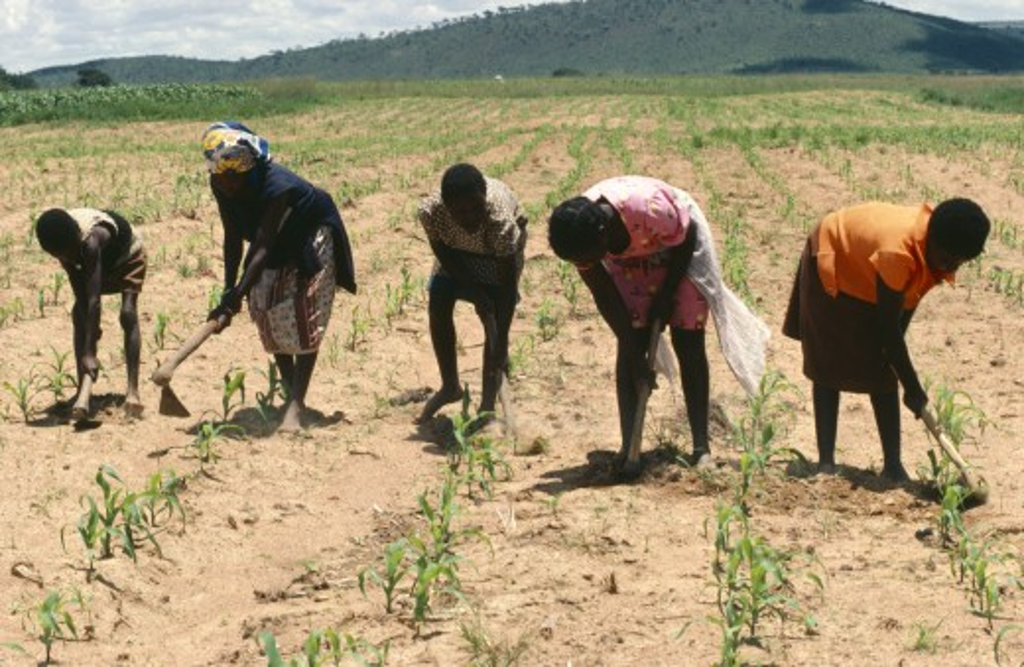 Stock Photo: 1850-7660 Zimbabwe, General, Chriamora Women Weeding Between The Crops