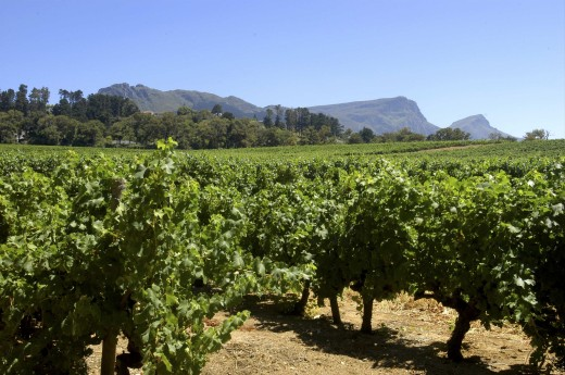 Stock Photo: 1850-8037 South Africa, Western Cape, Cape Town, Winery Vineyards