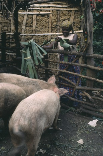 Stock Photo: 1850-8358 Tanzania, Farming, Woman Feeding Pigs.  Example Of Western Farm Animals Adopted For African Use.
