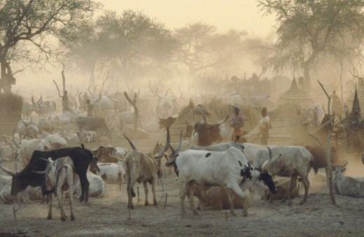 Sudan, Agar, Dinka Cattle Camp.  Herd Tethered To Posts Around Thatched Huts And Tribespeople. : Stock Photo