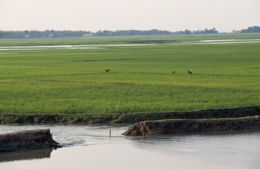 Stock Photo: 1850-8925 Bangladesh, Chittagong, Sylhet, Breached Embankment And Rice Fields