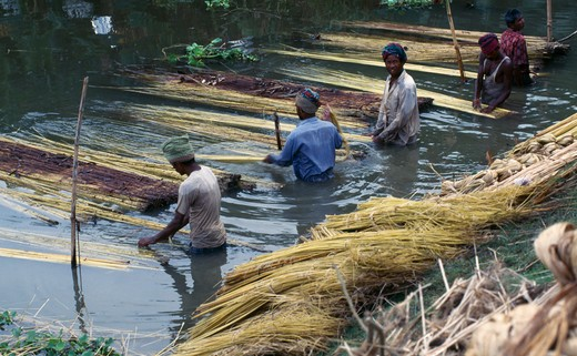 Bangladesh, Agriculture, Workers Preparing Jute Fibre In Water. : Stock Photo