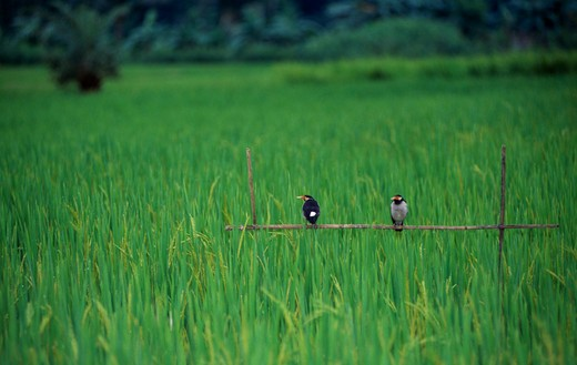 Stock Photo: 1850-9080 Bangladesh, Agriculture, Birds In Rice Field.