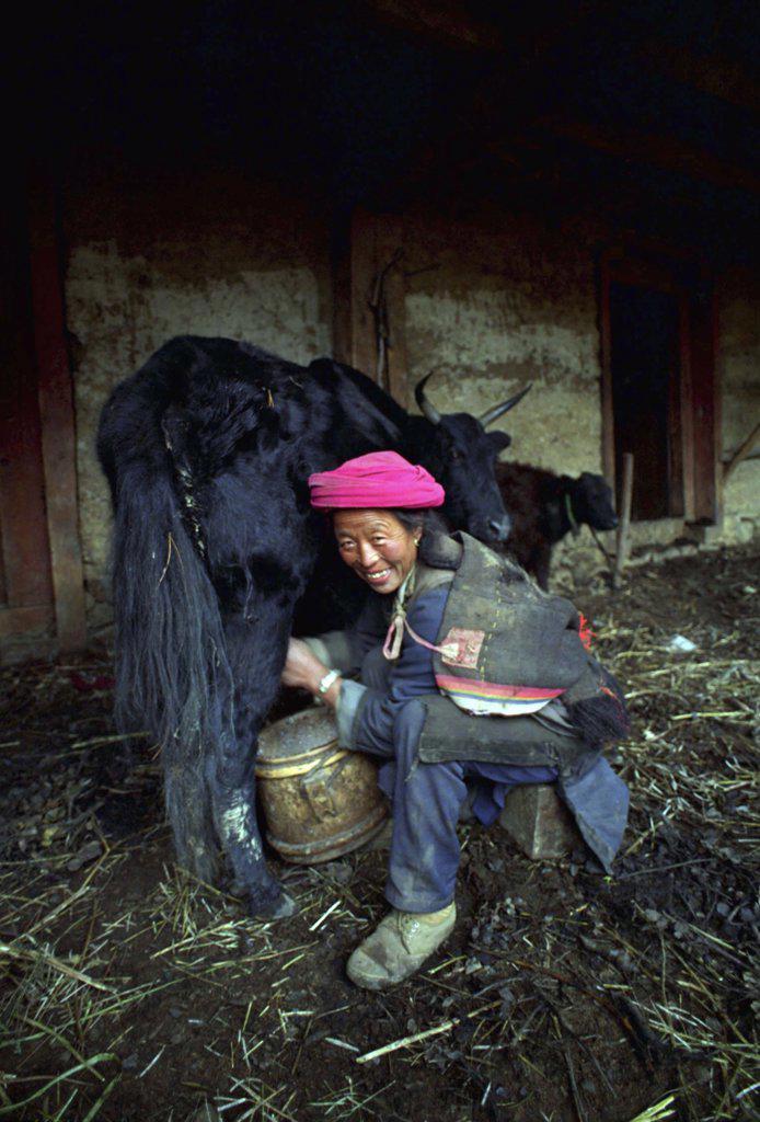 China, Yunnan, Zongdian, Smiling Woman Milking A Yak In A Barn : Stock Photo