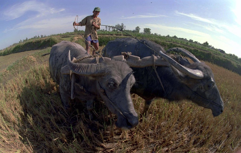 Vietnam, South, Mekong Delta, Farmer Working In A Paddy Field With Two Water Buffalo : Stock Photo