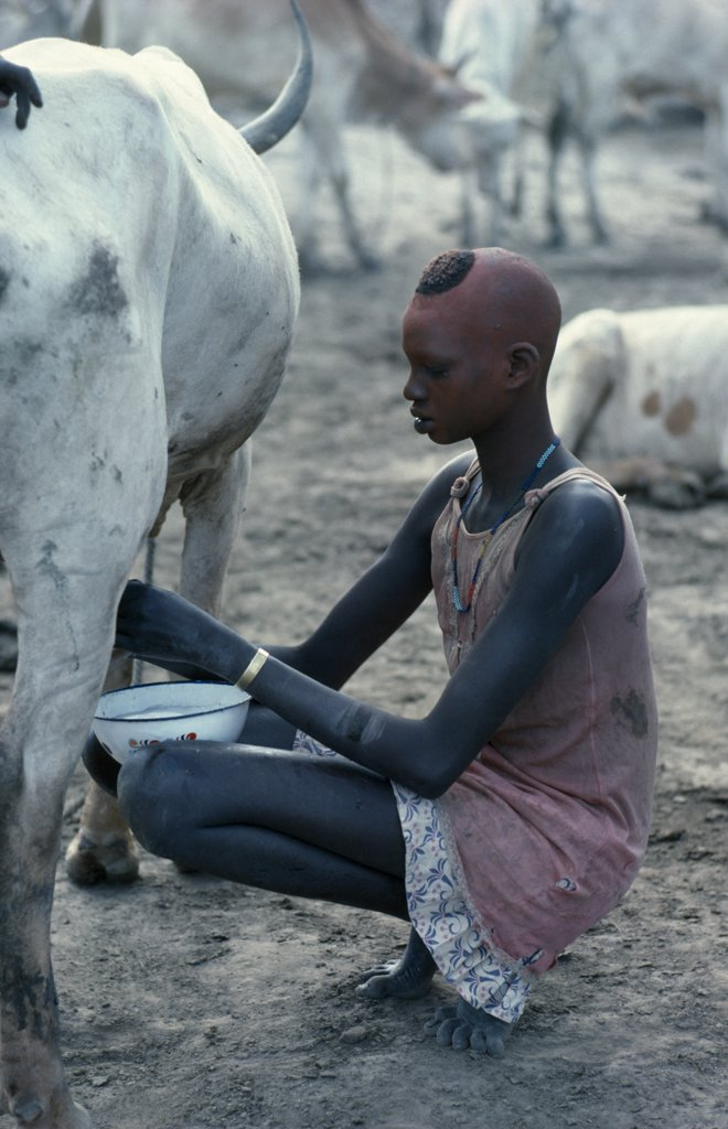 Sudan, Agriculture, Young Dinka Woman With Face And Head Coloured With Red Powder Milking Cow In Cattle Camp. : Stock Photo
