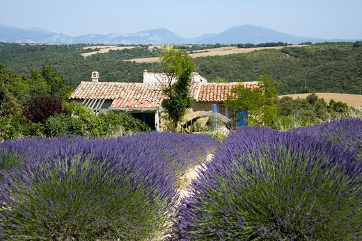 Stock Photo: 1851-5956 Lavender fields at Plateau du Valansole Provence France