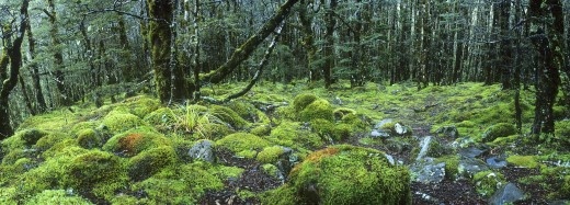 New Zealand, South Island, Arthur's Pass National Park, Woodland by Devils Punchbowl : Stock Photo