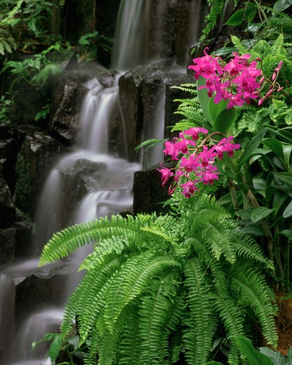Natural World, Flowers and Foliage, Orchid, Pink orchids by a waterfall : Stock Photo