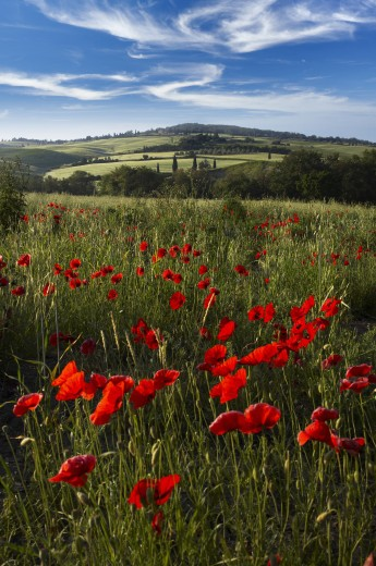 Italy, Tuscany, General, Tuscan landscape with poppies : Stock Photo