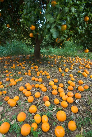 Cyprus, South, General, Fallen oranges in orange grove : Stock Photo