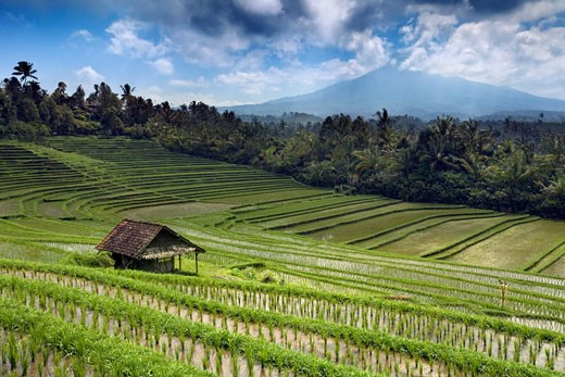 Indonesia, Bali, General, View over rice fields  : Stock Photo