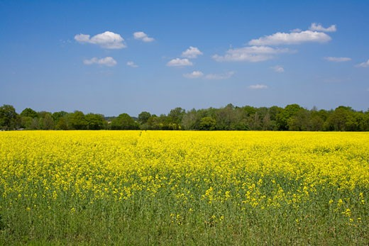 UK - England, Hampshire, Crookham Village, View across rape field : Stock Photo