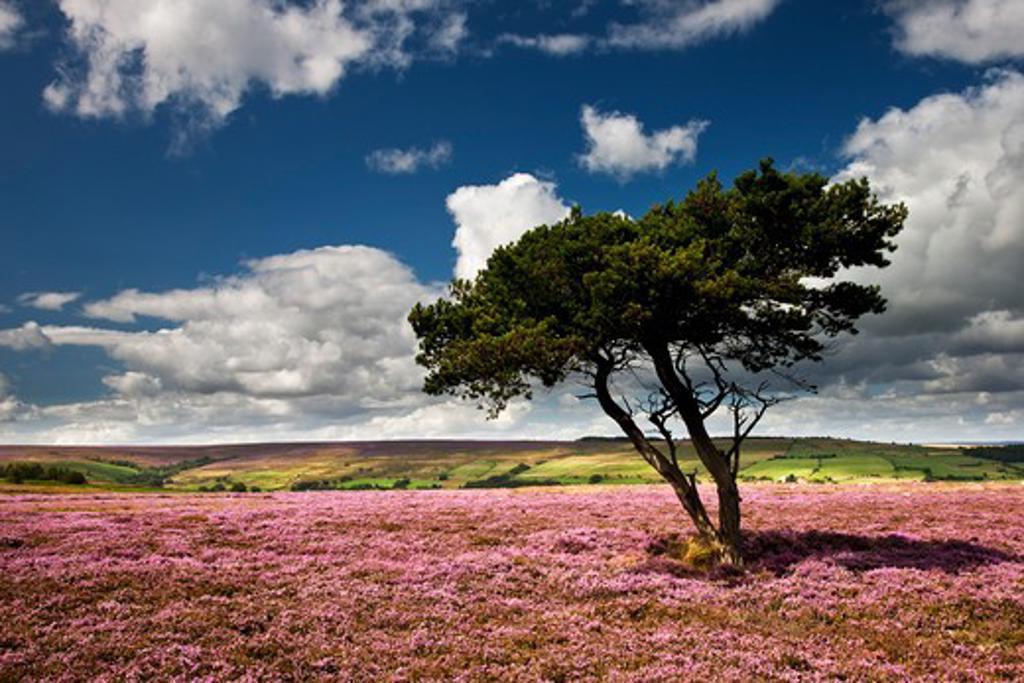 Stock Photo: 1885-21761 UK - England, North Yorkshire, Egton, August Heather Egton Moor, North York Moors National Park