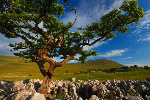 Stock Photo: 1885-23056 UK - England, North Yorkshire, Southerscales, Ingleborough from southerscales nature reserve