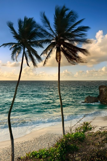 Caribbean, Barbados, Bottom Bay, Palm trees on beach : Stock Photo