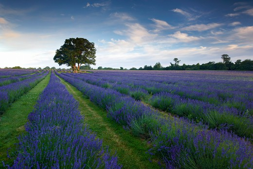 UK - England, Surrey, Banstead, Lavender farm : Stock Photo