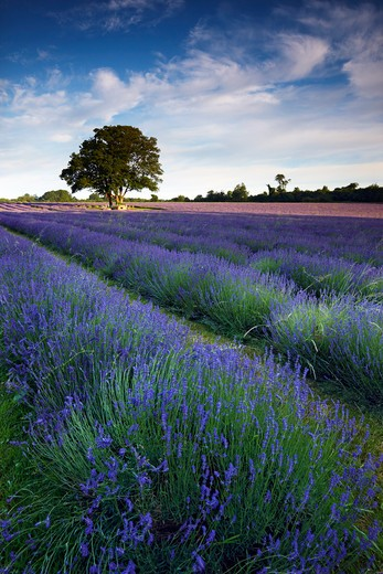 Stock Photo: 1885-24867 UK - England, Surrey, Banstead, Lavender farm