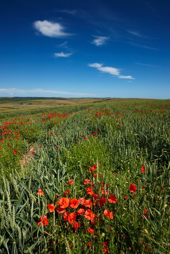 Stock Photo: 1885-24878 UK - England, East Sussex, Seaford, Poppies amongst crops
