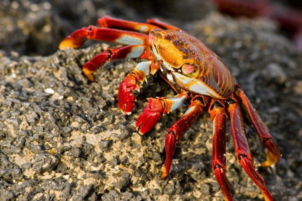 Ecuador, Galapagos Islands, Isla Santa Cruz, Sally Lightfoot crab : Stock Photo