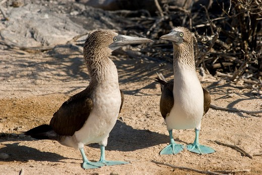 Ecuador, Galapagos Islands, Isla Espanola, Seabirds - Blue Footed Boobies : Stock Photo