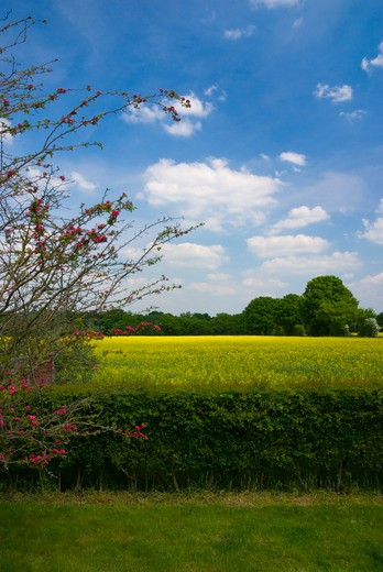 UK - England, Hampshire, Crookham Village, View across rape field in bloom : Stock Photo