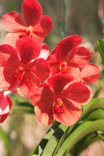 Caribbean, Barbados, St George, Orchid World - red orchid : Stock Photo