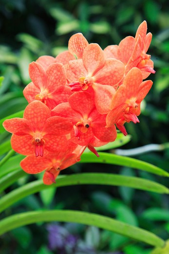 Caribbean, Barbados, St George, Orchid World - orange orchid : Stock Photo
