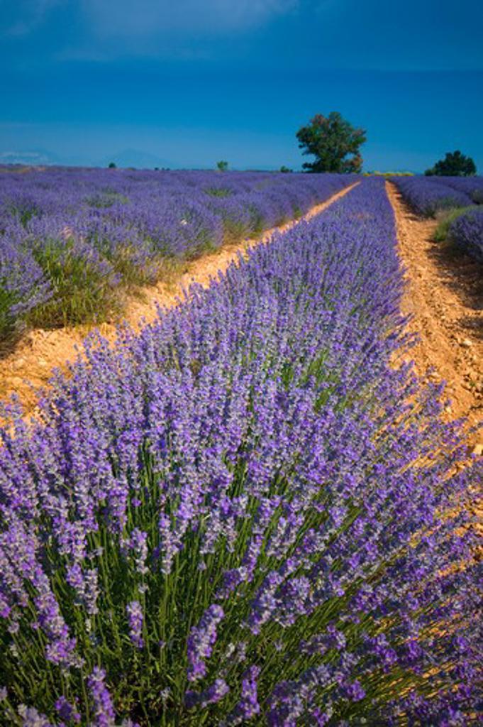 Stock Photo: 1885-28176 France, Provence, Valensole, Lavender fields