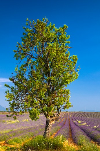 Stock Photo: 1885-28177 France, Provence, Valensole, Lavender fields and tree