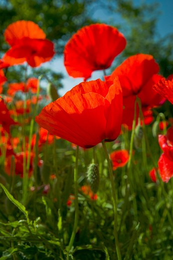 Stock Photo: 1885-28772 Italy, Umbria, Valnerina - near, Poppies - close up